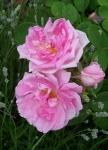 Rosa x damascena 'Autumn Damask'