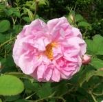 Rosa x damascena 'Kazanlik'