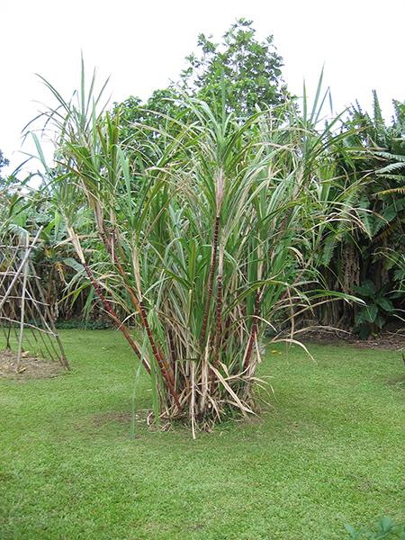 Saccharum officinarum sugar cane