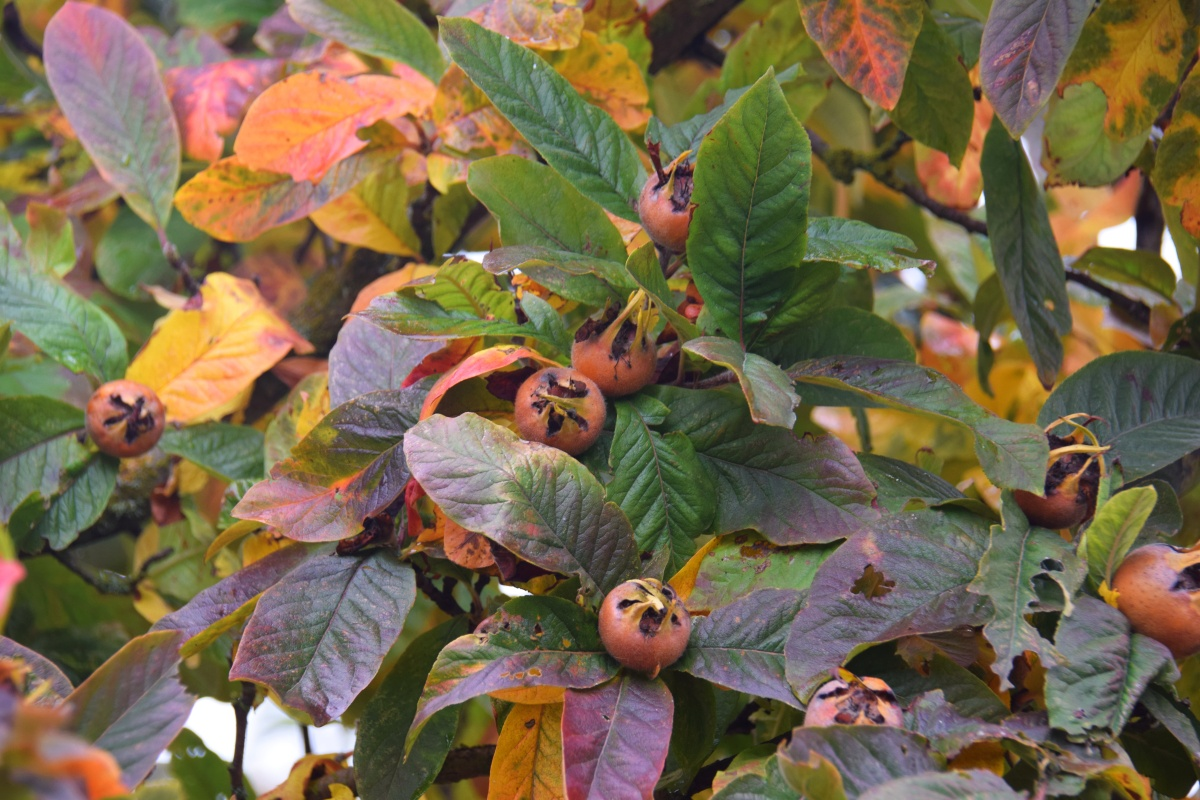 Medlar with fall color and fruit