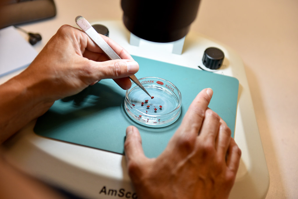 Picture of hands selecting seeds from petri dish under microscope