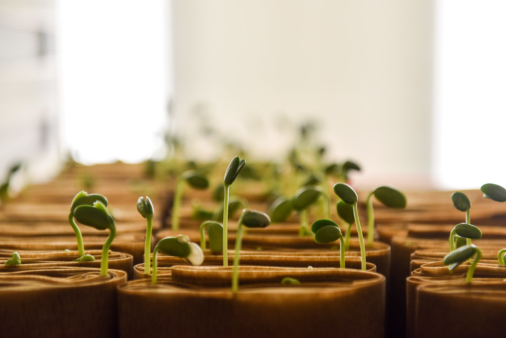 Picture of seeds germinating