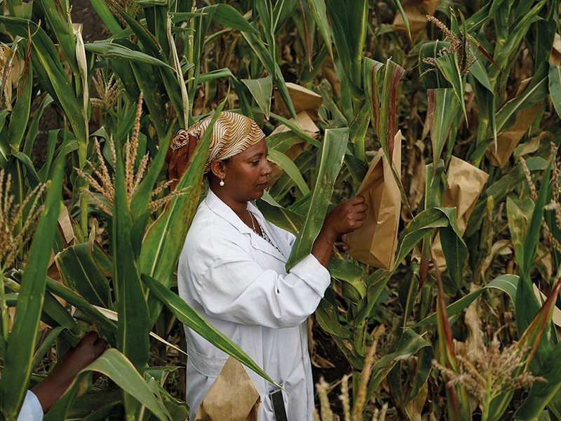 picture of Tigist Masresra, a technical assistant, working in the Highland Maize Breeding Program at Ambo Research Center, Ethiopia.