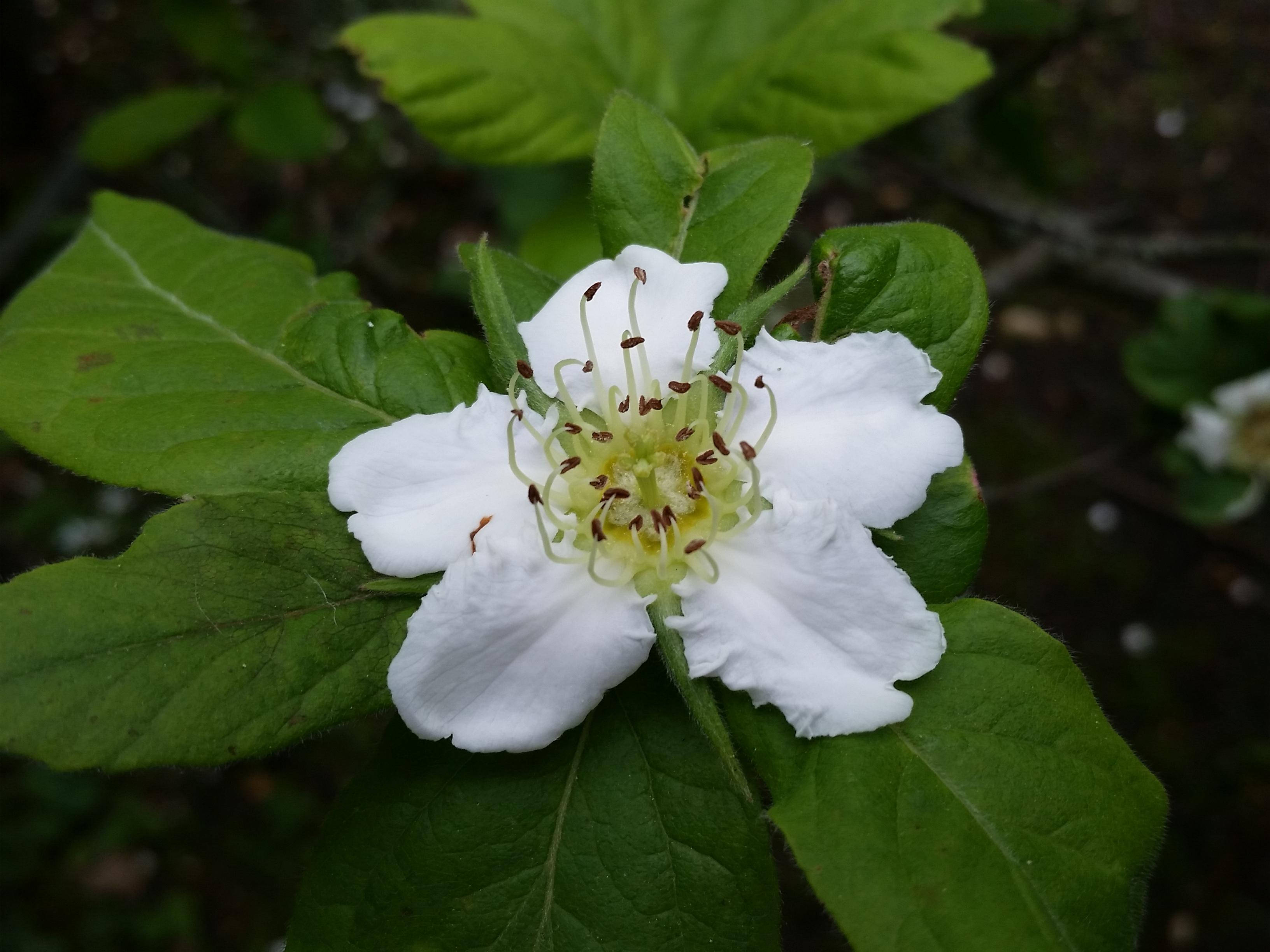 Mespilus germanica flower (1)