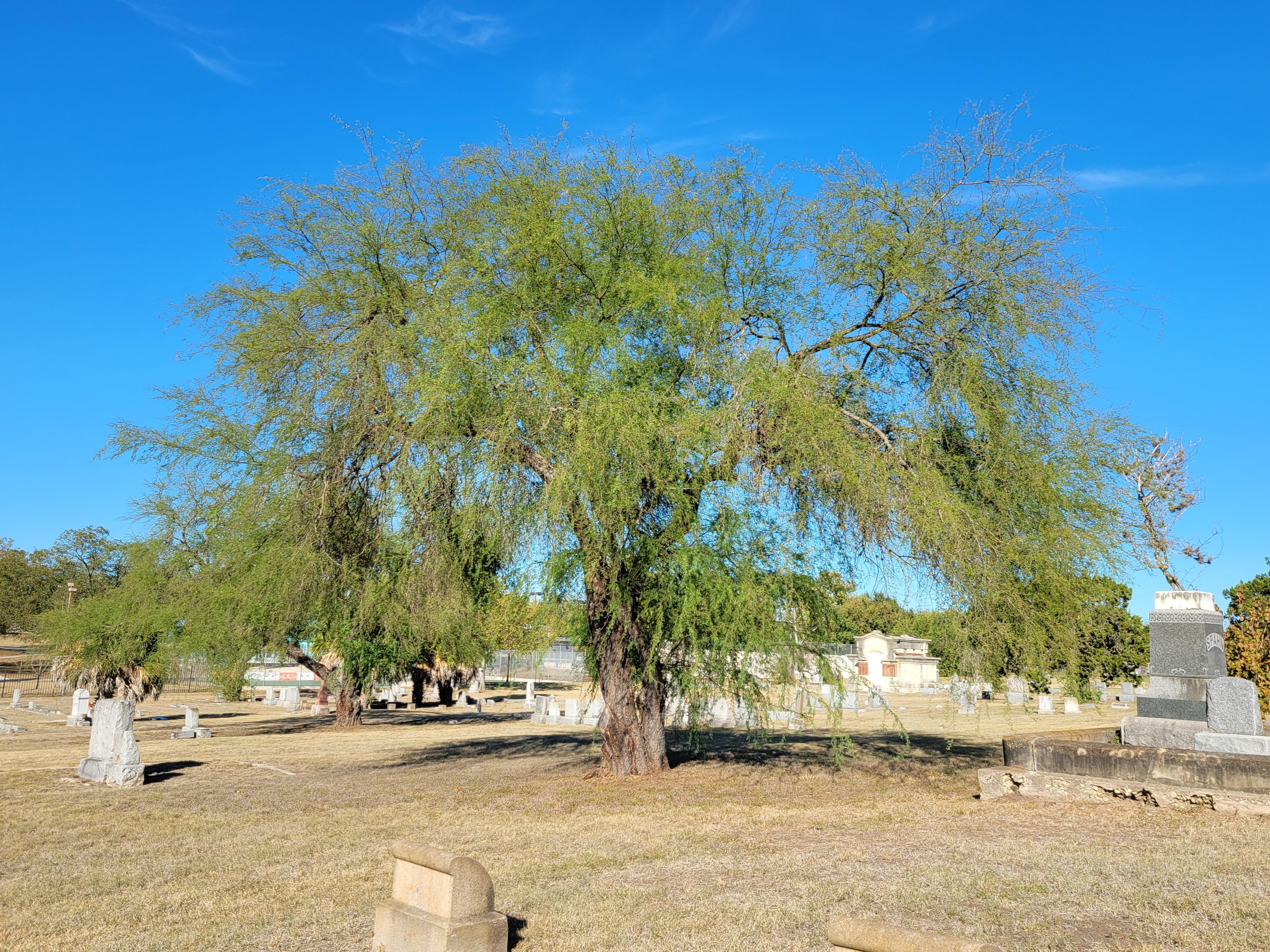 Huisache tree in Alamo Defenders Cemetery in San Antonio, Texas
