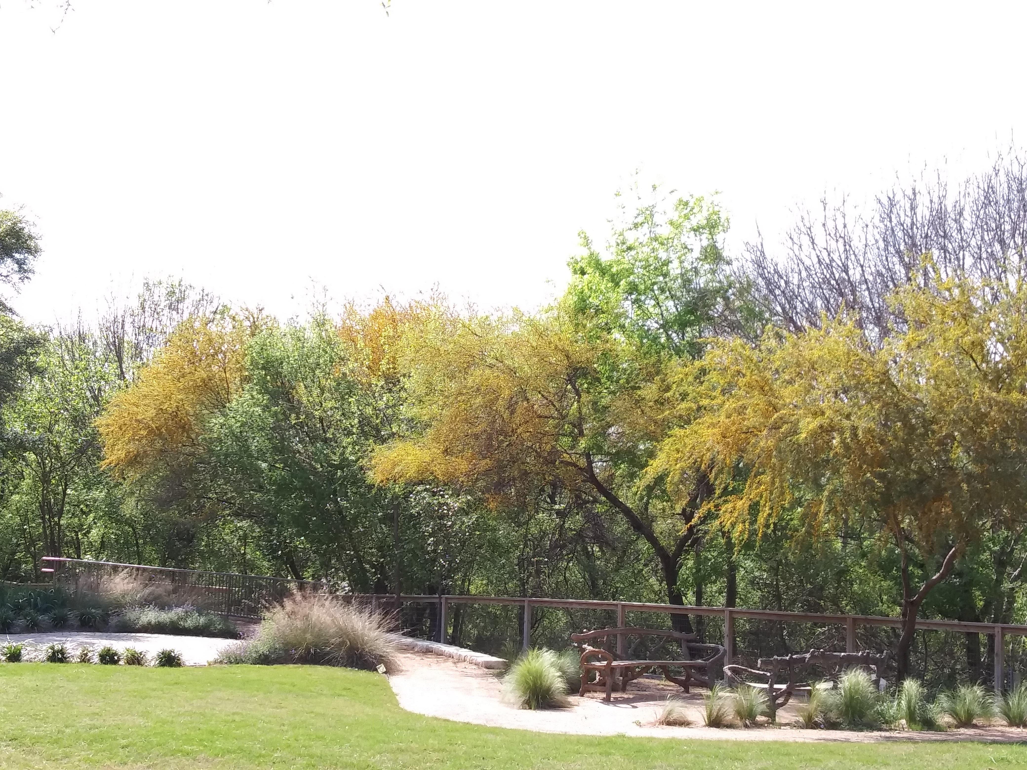Huisache blooming at Ecumenical Center of San Antonio, Texas