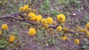 Huisache flowers