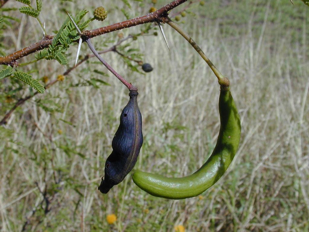 Vachellia farinesiana seed pods